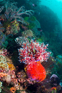 Sea apple (Pseudocolochirus violaceus), a sea cucumber, feeds by filtering the water column with its tentacular crown, successively bringing each arm into its mouth to deliver food particles. Komodo N... - Georgette Douwma