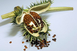 Thorn apple / Jimson weed (Datura stramonium)seed pods used in herbal medicine, UK  -  Georgette Douwma