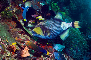 Giant / Titan triggerfish (Balistoides viridescens) feeding on coral reef and attracting wrasses, a bream, boxfish and butterflyfish, all hoping for scraps. One of the most feared fish by divers becau...  -  Georgette Douwma