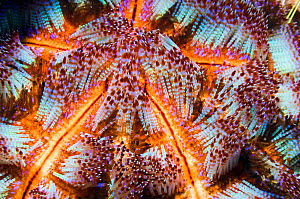 Fire urchin (Asthenosoma ijimai) with venomous spines that are able to inflict painful stings. Komodo National Park, Indonesia.  -  Georgette Douwma