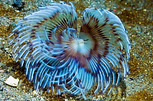 Serpulid feather duster worm (Serpulidae) a filter feeder that lives in a calcareous tube which it secretes, One of its tentacles has been modified to form an operculum, which can seal off the tube, o...  -  Georgette Douwma