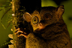 Wild Western / Horsfield's tarsier (Tarsius bancanus) in the rainforest at night. Danum Valley Conservation Area, Borneo, Sabah, Malaysia, Endangered species. HIGHLY COMMENDED  Gerald Durrell Award fo...  -  Tim Laman