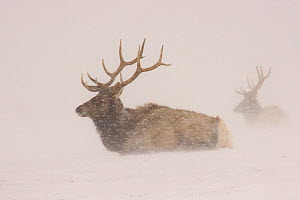 Elk (Cervus canadensis) in a snowstorm. National Elk Refuge, Jackson Hole, Wyoming, USA.  HIGHLY COMMENDED: Ten years and under in the Young Wildlife Photographer of the Year competition 2010  -  Russell Laman