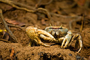 Mud crab on the banks of the Indian river, Dominica, West Indies, Caribbean. July. - Michele Westmorland