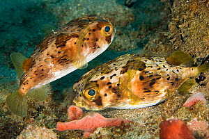 Balloonfish (Diodon holocanthus) on the seabed, within in coral reef system, Dominica, West Indies, Caribbean.  -  Michele Westmorland