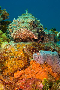 Spotted Scorpionfish (Scorpaena plumieri) camouflaged in healthy reef system, Dominica, West Indies, Caribbean.  -  Michele Westmorland