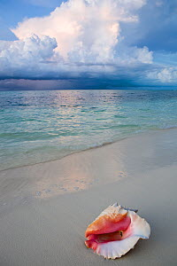 Conch (Strombidae) shell on tropical beach with stormy clouds in distance, Provodenciales, Turks and Caicos, Caribbean. June 2007  -  Michele Westmorland