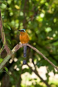 Blue crowned mot-mot (Momotus momota) perched on branch, Argyle Falls Forest, Tobago, Caribbean.  -  Michele Westmorland