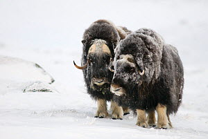two Musk ox (Ovibus moschatus) on snow in winter, Dovre-Sunndalsfjella National Park, Sor-Trondelag, Norway. January  -  Orsolya Haarberg