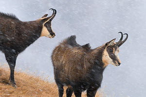 Chamois (Rupicapra rupicapra) two in snow storm, Alps, Gran Paradiso National Park, Italy, November - Orsolya Haarberg