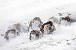 Musk ox (Ovibos moschatus) snowed in in snow storm, Dovre-Sunndalsfjella National Park, Sor-Trondelag, Norway, March, HIGHLY COMMENDED: Animals in their Environment, Wildlife Photographer of the Year... - Orsolya Haarberg