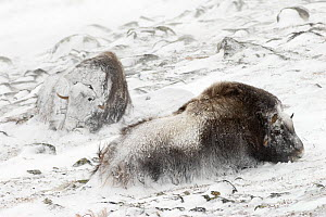 Musk ox (Ovibos moschatus) in snow storm, resting, covered in snow, Dovre-Sunndalsfjella National Park, Sor-Trondelag, Norway, March, - Orsolya Haarberg