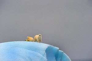 Polar bear (Ursus maritimus) female and her two cubs on large iceberg off Baffin Island. Nunavut, Canada, August 2010 - Eric Baccega