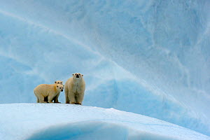 Polar bear (Ursus maritimus) female and her two cubs on an iceberg, off Baffin Island. Nunavut, Canada, August 2010 - Eric Baccega