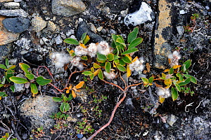 Arctic willow (Salix arctica) flowering on rocks, Baffin Island, Nunavut, Canada, August 2010  -  Eric Baccega