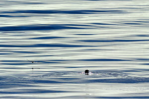 Ringed seal (Phoca hispida) in water, with bird flying low over the surface, Devon Island, Nunavut, Canada, August 2010  -  Eric Baccega