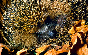 Hibernating Hedgehog (Erinaceus europaeus)  curled up into ball, with paws and snout visible, UK - John Waters