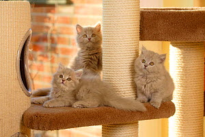 Three British Longhair  kittens, aged 9 weeks, sitting on scratching post (Highlander, Lowlander, Britanica) - Petra Wegner