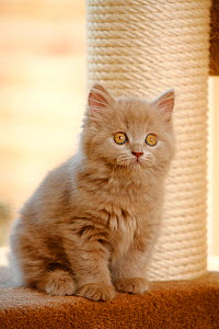 British Longhair kitten, aged 9 weeks, sitting next to scratching post (Highlander, Lowlander, Britannica) - Petra Wegner
