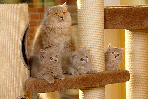 British Longhair Cat, lilac-tabby-mackerel coated, and kittens, aged 9 weeks (Highlander, Lowlander, Britanica) - Petra Wegner