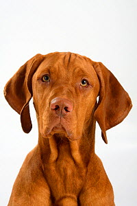 Magyar Vizsla / Hungarian Pointer, head portrait of smooth coated, tan coloured male, sitting. - Petra Wegner