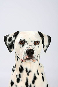 Dalmatian, head portrait, male aged 4 years.  -  Petra Wegner