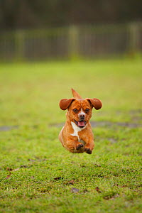 Mixed Breed dog running on grass, towards camera. - Petra Wegner