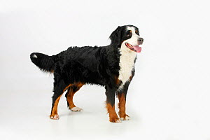 Bernese Mountain Dog, female panting and standing in show-stack posture.  -  Petra Wegner