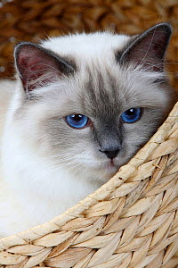 Burman/ Sacred Cat of Burma, head portrait of  blue point coated adult, sitting in basket.  -  Petra Wegner