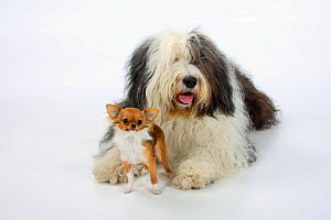 Bobtail / Old English Sheepdog, lying with a  longhaired Chihuahua, tan and white coated.  -  Petra Wegner