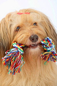 Mixed Breed Dog  head portrait, with toy rope in her mouth. - Petra Wegner