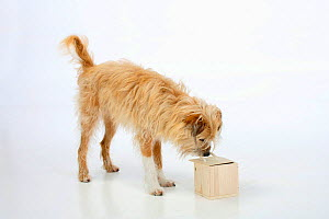 Mixed breed dog, opening wooden box. Sequence 1/5.  -  Petra Wegner