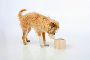 Mixed breed dog, opening wooden box. Sequence 2/5.  -  Petra Wegner