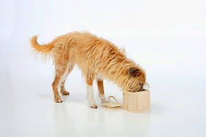 Mixed breed dog, opening wooden box. Sequence 3/5.  -  Petra Wegner