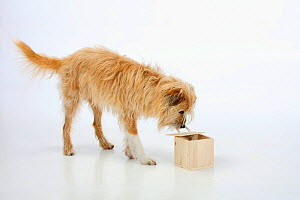 Mixed breed dog, opening wooden box. Sequence 5/5.  -  Petra Wegner