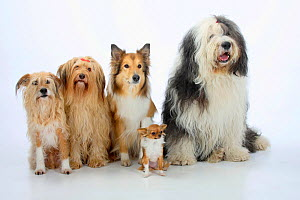 Group portrait of five dogs sitting, from left to rt: two mongrels, Rough Collie, Bobtail (Old English Sheepdog) and longhaired Chihuahua. - Petra Wegner