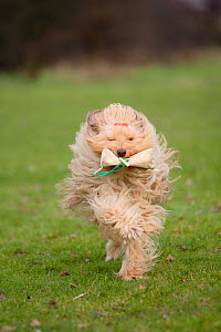 Mixed breed dog running towards camera, retrieving foodbag. - Petra Wegner