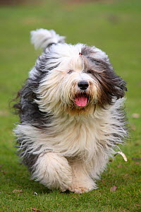 Bobtail / Old English Sheepdog running towards camera, panting. - Petra Wegner
