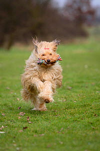 Mixed Breed Dog in field, running towards camera, retrieving toy rope. - Petra Wegner