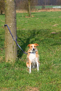 Mixed Breed Dog, on leash tied to tree, abandoned. - Petra Wegner