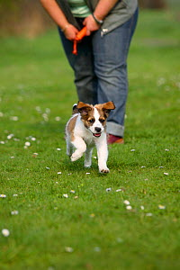 Kromfohrlander puppy, aged 10 weeks, playing and running off the leash. - Petra Wegner