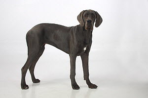 Great Dane bitch, aged 7 months, standing in show-stack posture.  -  Petra Wegner