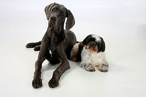 Great Dane bitch, aged 7 months, and Shih Tzu, aged 10 years, lying down together.  -  Petra Wegner