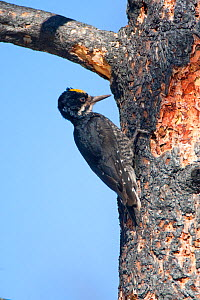 Black-backed Woodpecker (Picoides arcticus) foraging on burned Jeffrey Pine (Pinus jeffrey) trunk, Mono Lake Basin, California, USA. - Marie Read