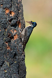 Black-backed Woodpecker (Picoides arcticus) male with food (beetle larva) in bill clinging outside its nest hole in burned Jeffrey Pine (Pinus jeffreyi) trunk, Mono Lake Basin, California, USA. - Marie Read