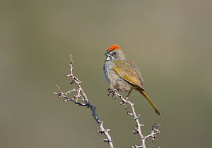 Green-tailed Towhee (Pipilo chlorurus) perched on branch,  Mono Lake Basin, California, US perched on branch,  -  Marie Read
