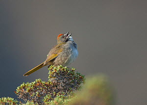 Green-tailed Towhee (Pipilo chlorurus) male singing, Mono Lake Basin, California, USA  -  Marie Read
