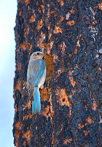 Mountain Bluebird (Sialia currucoides) female at nest hole in burned Jeffrey Pine (Pinus jeffreyi) Mono Basin, California, USA - Marie Read