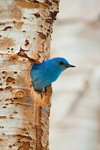 Mountain Bluebird (Sialis currucoides) male looking out of its nest hole in Aspen trunk, Mono Lake Basin, California, USA  -  Marie Read
