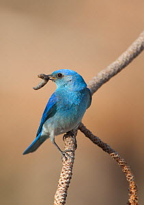 Mountain Bluebird (Sialia currucoides) male with food (caterpillar) for young in its bill, Mono Basin, California, USA (Digitally retouched image - stick removed at top)  -  Marie Read